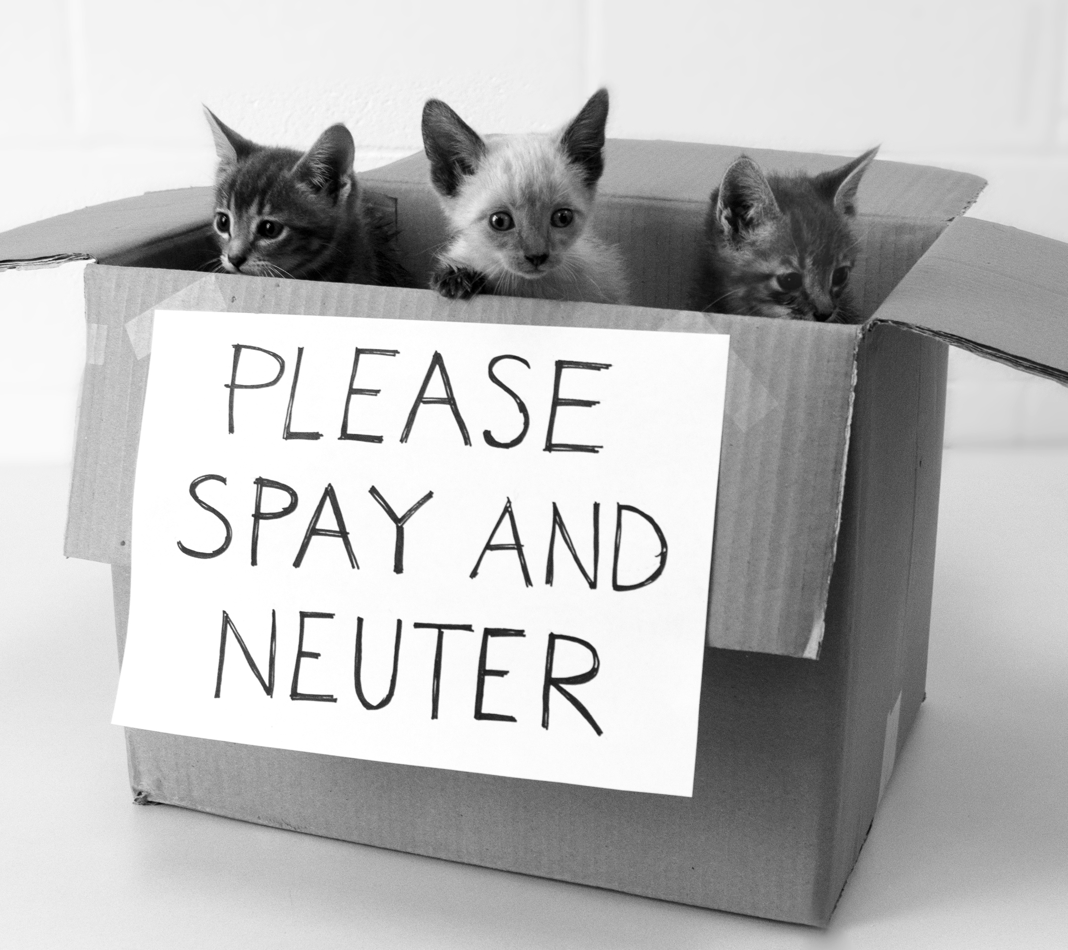 spay neutering your pets Spay and neuter your pets good for you, your pet, and the community prevent a litter - it's good for you spayed and neutered pets are better, more affectionate, companions neutered cats are less likely to spray and mark territory spaying a female dog or cat eliminates its heat cycle, which can last twenty-one days, twice a year, in dogs, and anywhere from three to fifteen days.