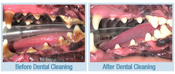 How Much Is Dog Teeth Cleaning Uk