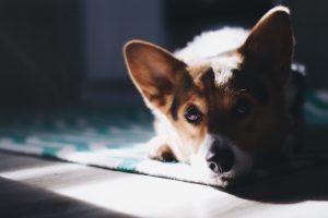 Corgi dog lying down